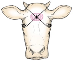 How do you use a captive bolt gun for euthanasia of dairy cattle