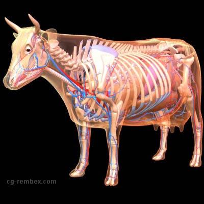 Dairy Cow Anatomy 4d